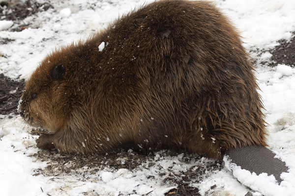 American beaver with snow