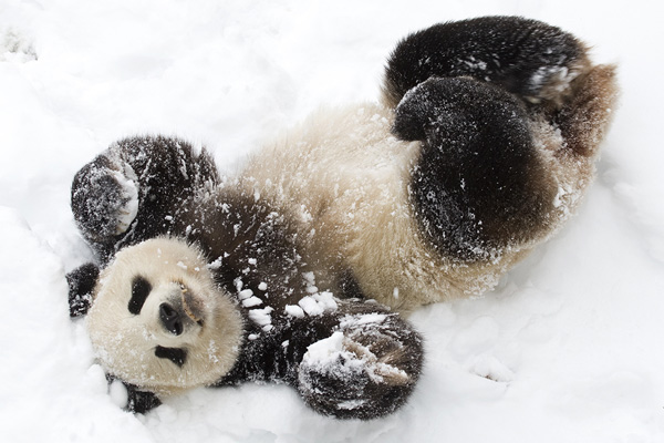 Giant panda on snow