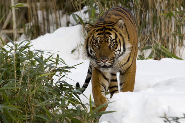 Sumatran tiger in snow