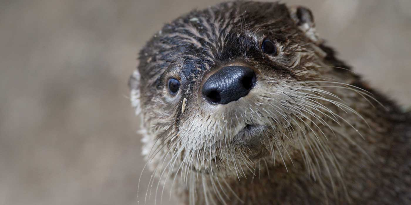 otter facing camera